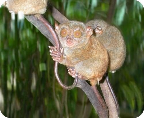 not a monkey nor a cat nor a rat...   it's tarsier.