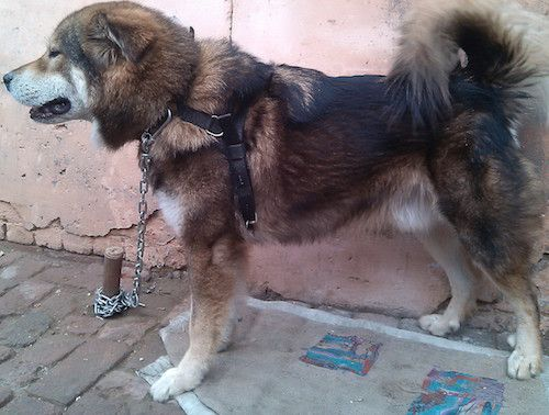 Tibetan Mastiff Dog Breed Information and Pictures