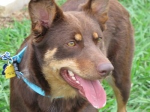 Coco is an adoptable Australian Kelpie Dog in Austin, TX. Beautiful, friendly Kelpie /Australian Cattle Dog mix Coco is approximately 38 lbs and 18 months old. She is looking for her forever home.  Sh...