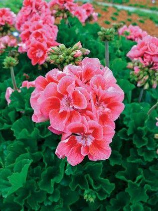 Geranium Pinktastic #pohlmansnursery #livingcolour #gardening #Australia