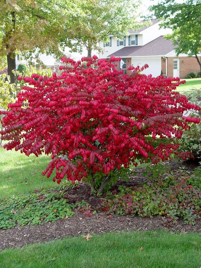 Winter is a good time to prune burning bushes -- before new growth begins. Try pruning them with hand pruners into a vase shape like a mini-tree instead of shearing them into balls.