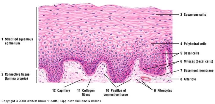 Nonkeratinized stratified squamous epithelium