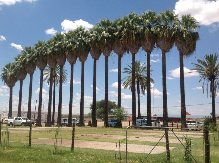 Palm trees of Stampriet, that was planned in 1917