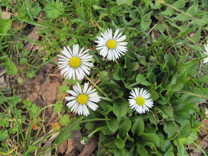 Sedmikráska chudobka (Bellis perennis), také sedmikráska obecná a lidově někdy chudobka, je vytrvalá léčivá rostlina z čeledi hvězdnicovitých (Asteraceae). Je jediným českým druhem rodu sedmikráska (Bellis).