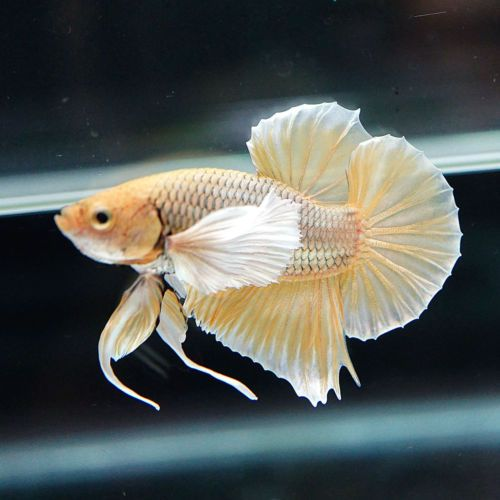 1000 images about dumbo bettas on pinterest salamanders for Big betta fish