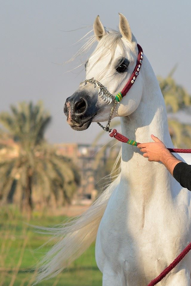 #ArabianHorses....duch a beauty. Look at those dark eyes and slim neck, such grace.