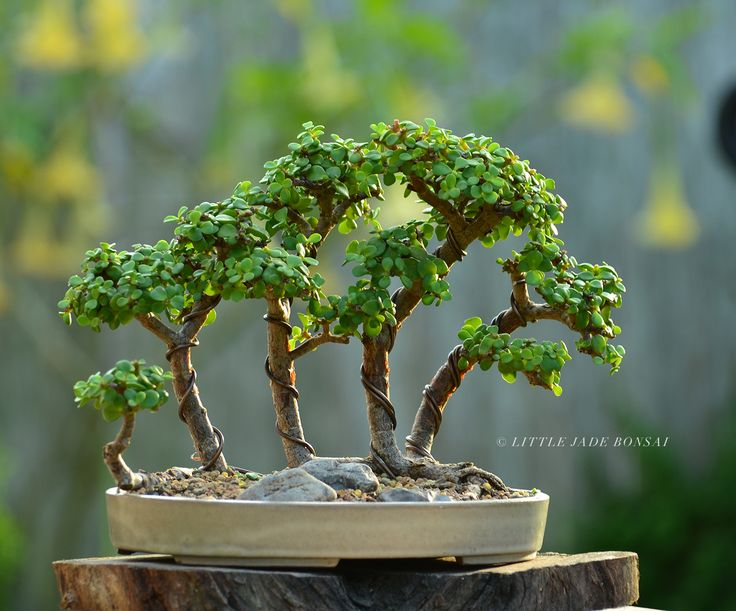 Raft style Portulacaria afra / dwarf jade bonsai by Gilbert Cantu of Little Jade Bonsai.