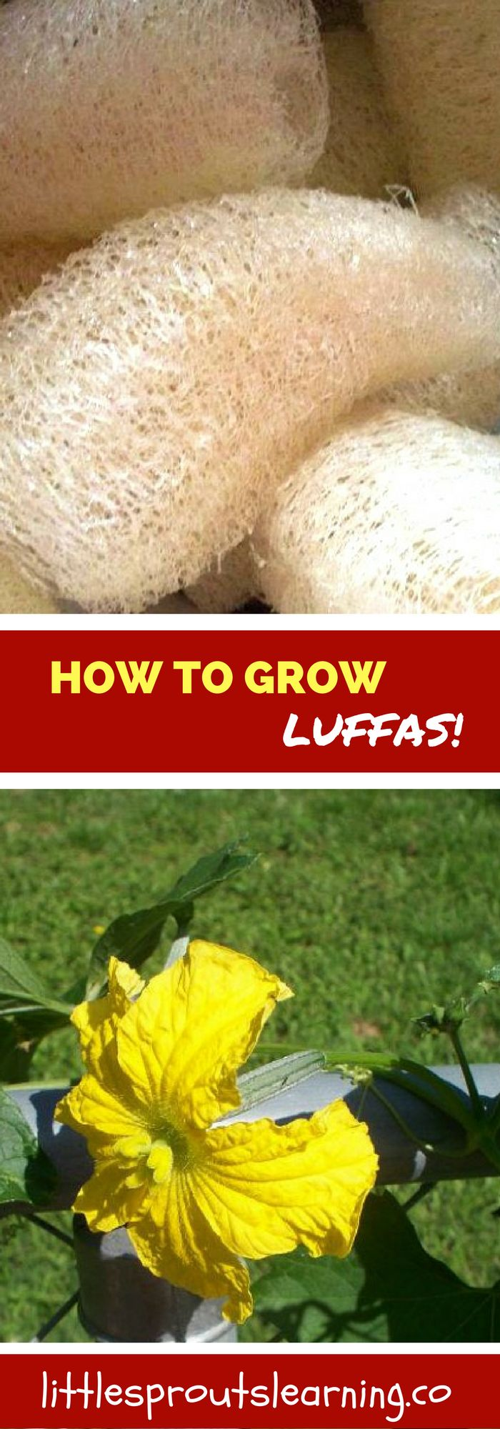 Did you know you can grow luffa gourd sponges in your home garden? It's easy and fun!