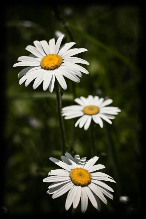 Chamomile daisies swaying gently in the summer breeze.