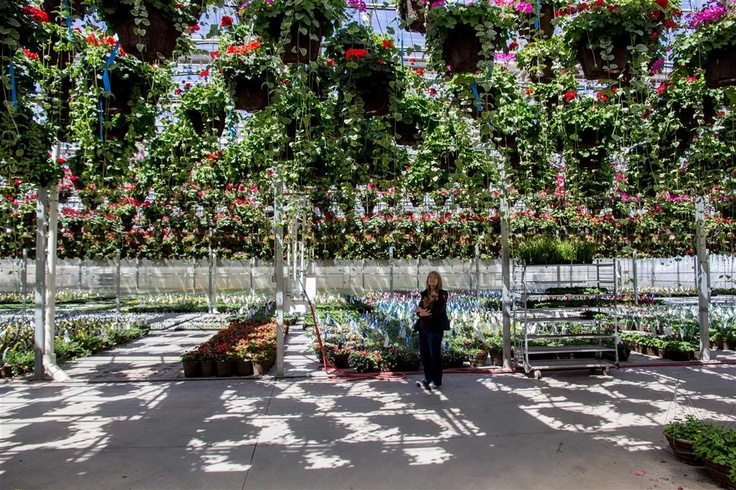 Grown in Idaho...Moss Greenhouse in Jerome: Mom Worked, Idaho Moss Greenhouse, Spectacular Hanging, Place, Hanging Baskets
