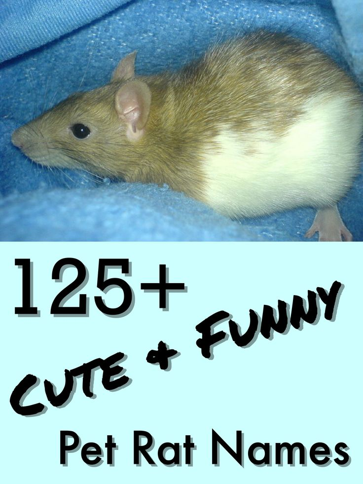 125+ Cute and Clever Names for Your Pet Rat Pet rats