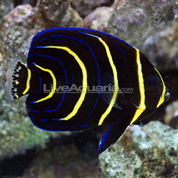 Cortez Angelfish-Simply Beautiful. Love the yellow and blue.