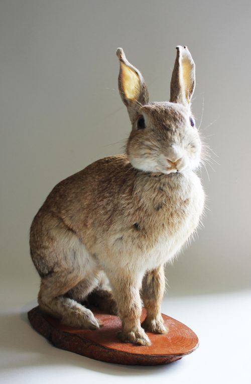 https://www.google.com/search?q=taxidermy rabbit