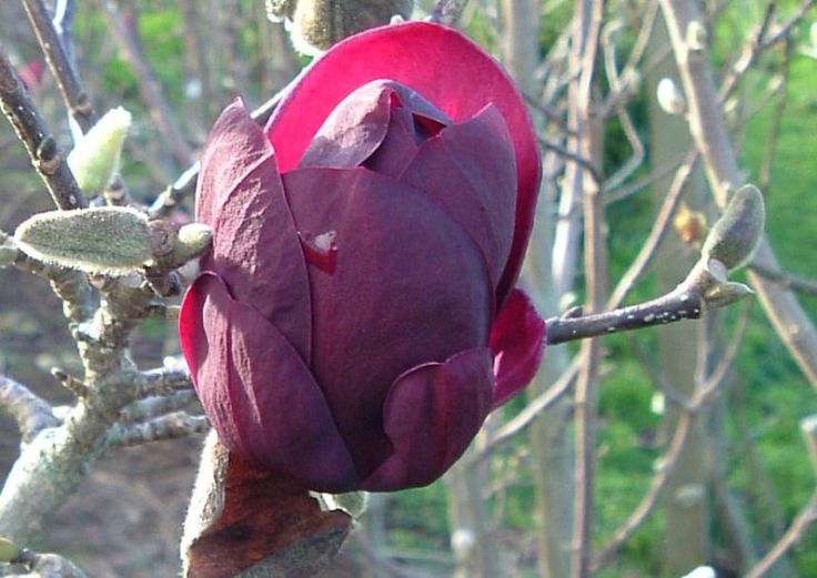 All about magnolia 'Genie'