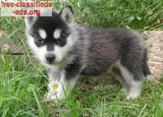 free-classifieds-ads.org - siberian husky puppies for good homes