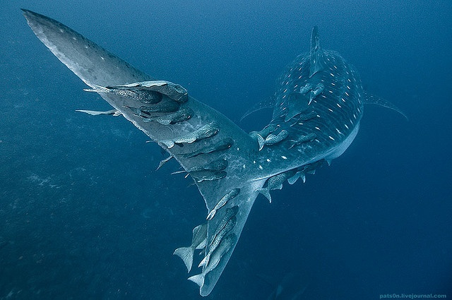 Whale shark tail with remoras, Darwin's Arch, Galapagos Islands.  by Alexander Safonov.