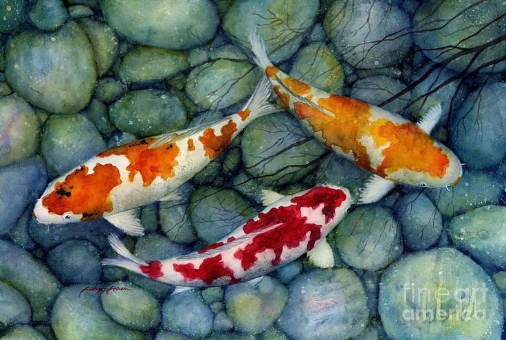102 best koi images on pinterest koi photo illustration for Where to buy koi fish near me