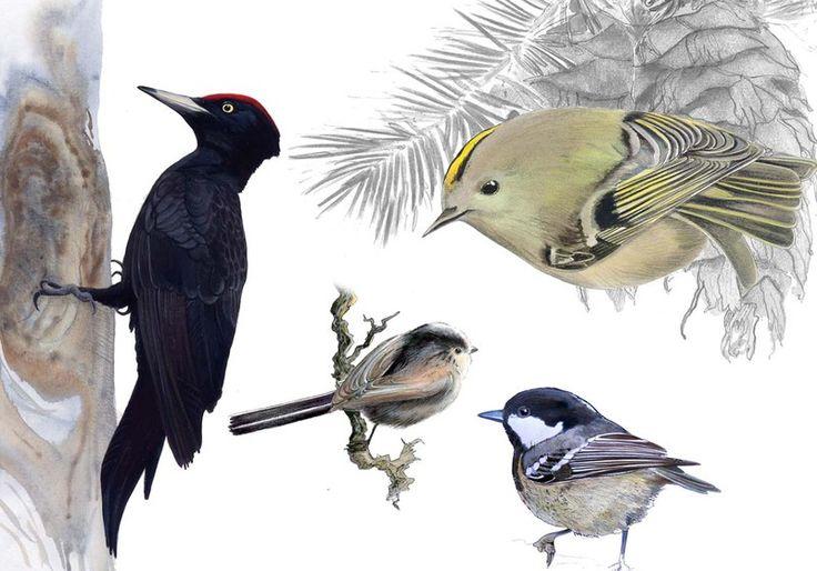 Oiseaux 2 : Pic noir, Mésange à longue queue, Mésange noire, Roitelet huppé