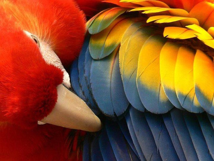 arara: Primary Colors, Counted Feathers, Natural Beautiful, Bedrooms Colors, Colors Art, Colors Wheels, Beautiful Birds, Parrots Colour, Beautiful Creatures