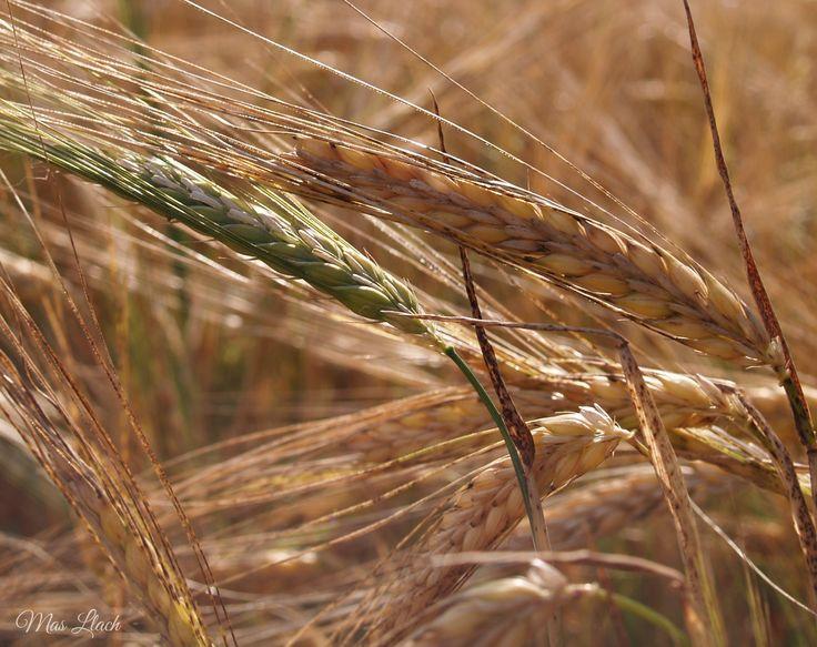 Dotal d'un camp de blat a finals de maig