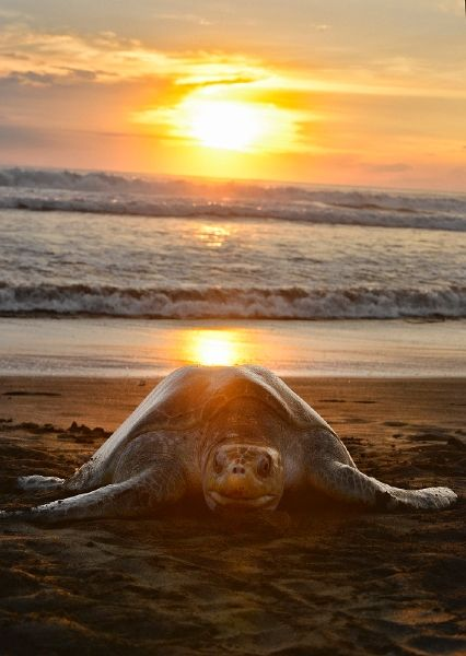 Sea turtle comes ashore to lay eggs on Playa Ostional, Wildlife refuge Costa Rica