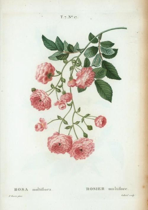 Rambler Rose (Rosa multiflora) by Pierre Joseph Redouté (1759-1840) from  'Traité des Arbres et Arbustes que l'on Cultive en France en Pleine Terre' by  M. Duhamel du Monceau.   Issued 1801-1815.  Image and text courtesy NYPL Digital Collection.
