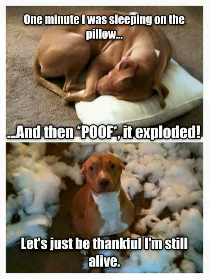 """This is my Zoie!!  We've tried every pillow,  dog bed,  you name it.  We are lucky if they last a week before they poof! """"Explode! """""""