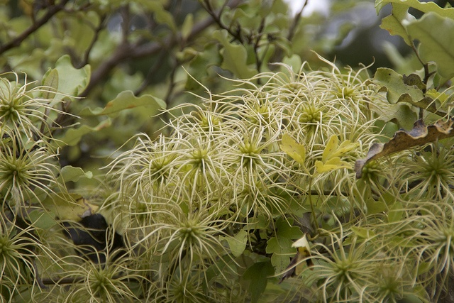 Seedheads - clematis forsteri - New Zealand
