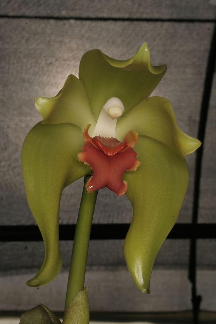 Sudamerlycaste cinnabarina Que hermosa flor!! Espero verla en vivo y a Todo color