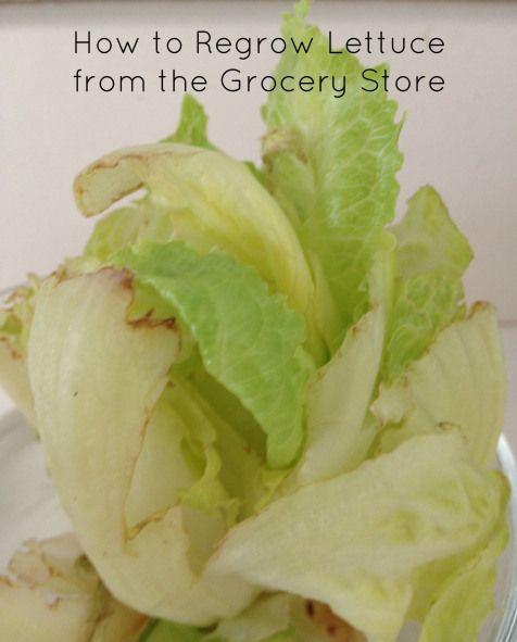 Best 25 Regrow Romaine Lettuce Ideas On Pinterest: Best 25+ Regrow Lettuce Ideas On Pinterest