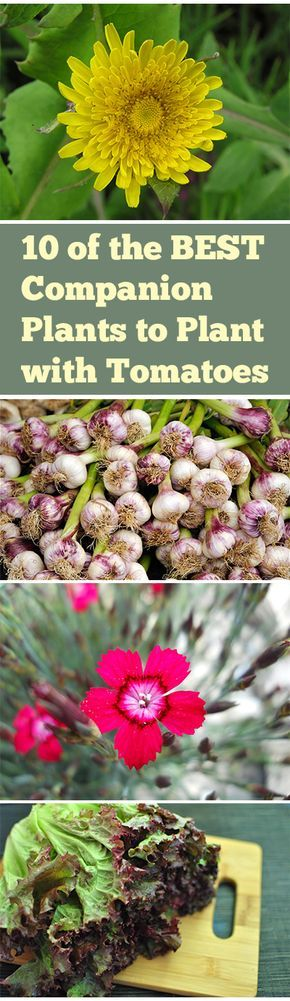 Best companion plants to plant with your tomatoes- find out which plants repel pests and help your tomatoes flourish.
