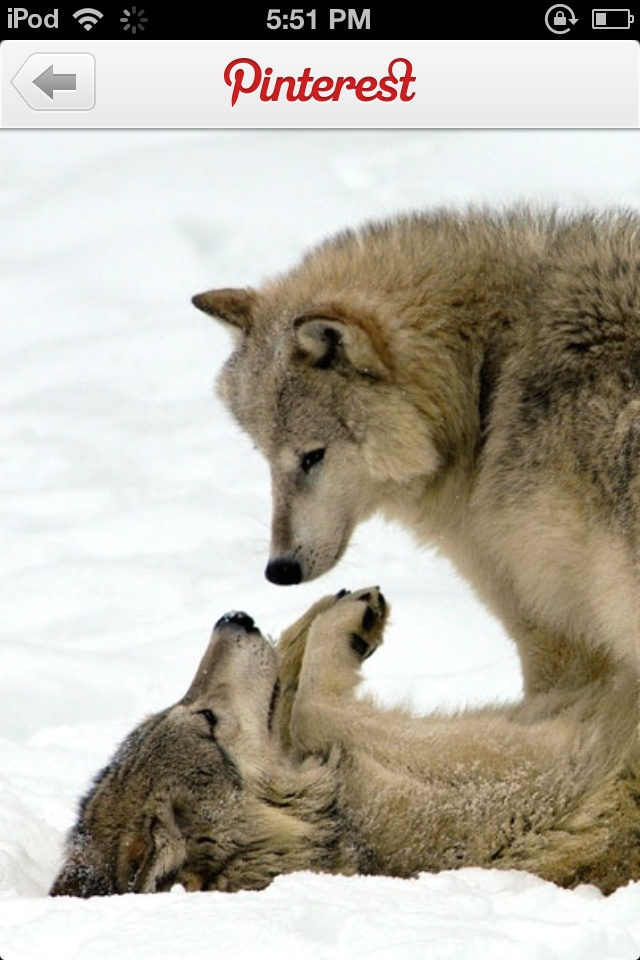 too cute! little wolf lovers