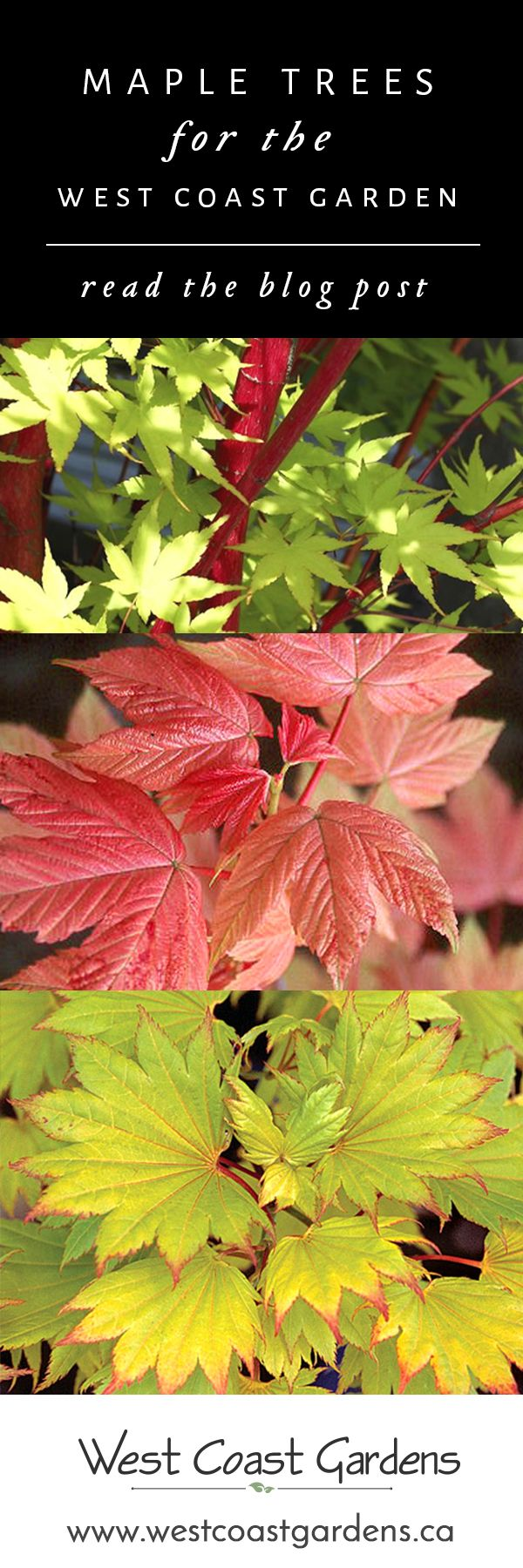 Maple Trees for the West Coast Gardener!