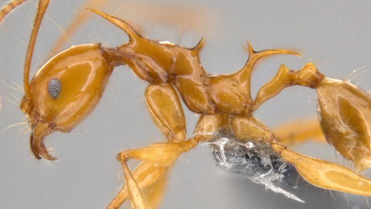 Meet Viserion And Drogon: The New Ant Species Named After The Game Of Thrones Dragons