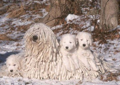 The Komondor...only if I lived in a cold climate would I own this dog.
