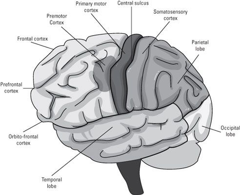 """Neuroscience """"cheat sheet"""". I have always wanted to become a neurosurgeon, and I will become a neurosurgeon before I turn 30, I have mapped out my entire time in school for this gig.I am 10 now, and I am already a high achieving student ."""