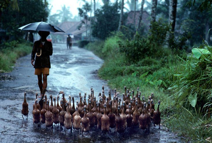 INDONESIA - ducks
