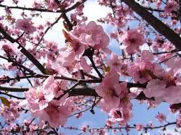 Imagini pentru flori de piersic