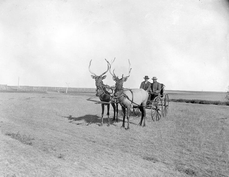 "Two bull elk pull a carriage owned by ""Prairie Dog"" O'Byrne in Colorado, 1890s"