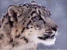 """Baby Snow Leopard Filmed in Mountains of Bhutan"""