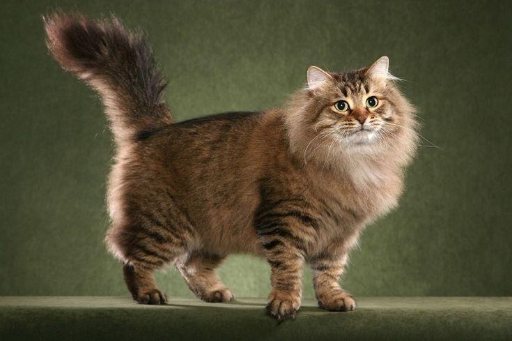 Сибирская кошка – порода полудлинношерстных кошек с густым, не пропускающим влагу шерстяным покровом, пушистым хвостом и милым выражением мордочки