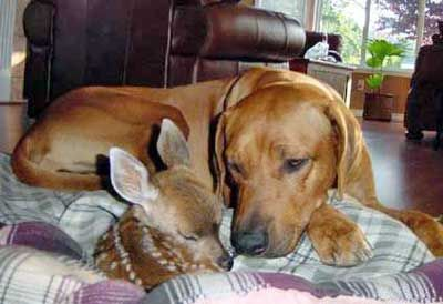 Hogan the Ridgeback fawning on a surprise guest.
