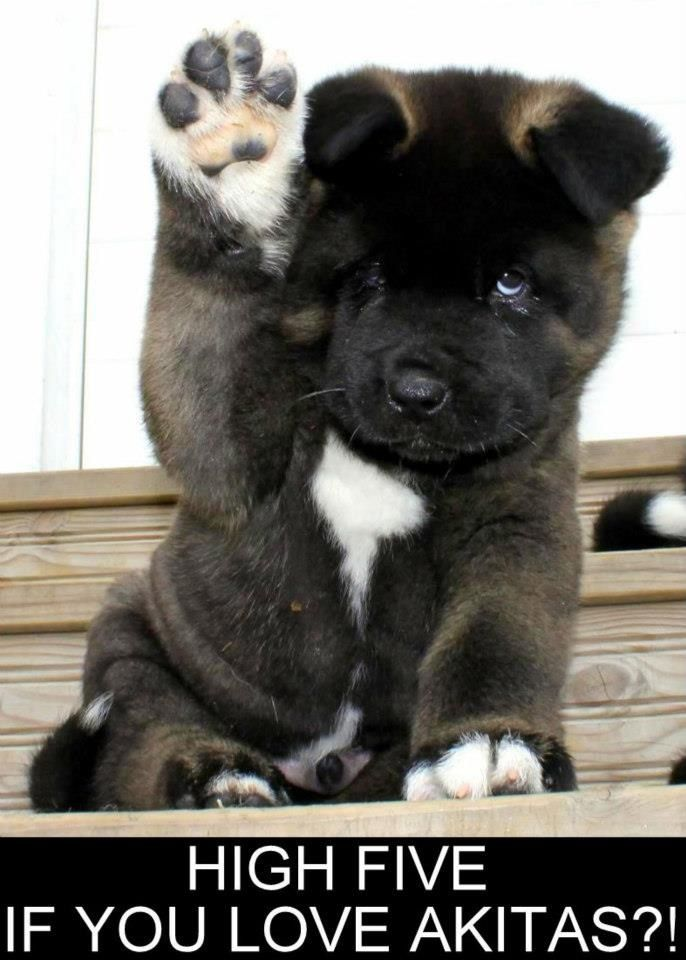Akita High Five #dog #akita #animal I'll have one some day...