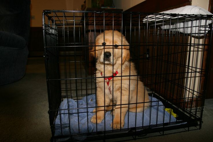 How to crate train a Golden Retriever puppy: crate training is the fastest way to achieve a potty trained puppy.