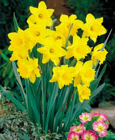 Yellow daffodils to pair with purple Alliums around vegetable garden to deter squirrels. Come up before Alliums.