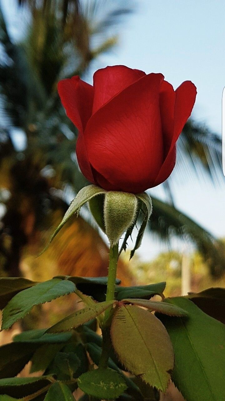 Pin By Red Fabulous On Roses Beautiful Rose Flowers Beautiful Roses Beautiful Flowers Wallpapers