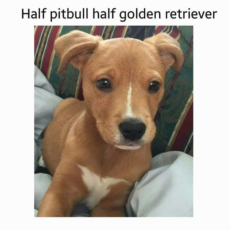 half pit bull half golden retriever puppies pinterest pit bull and golden retrievers. Black Bedroom Furniture Sets. Home Design Ideas