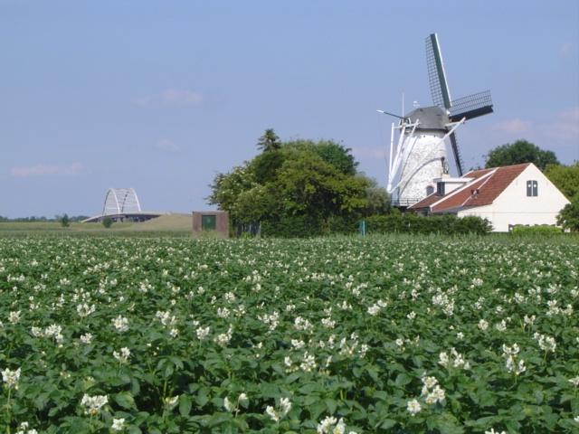 Potato plants (Bijl Aardappelen BV, Sint-Annaland)