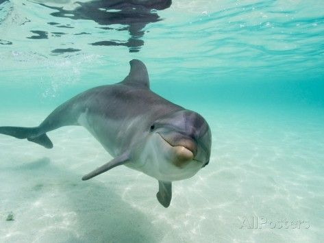 Bottlenose Dolphin Photographic Print by Stuart Westmorland at AllPosters.com