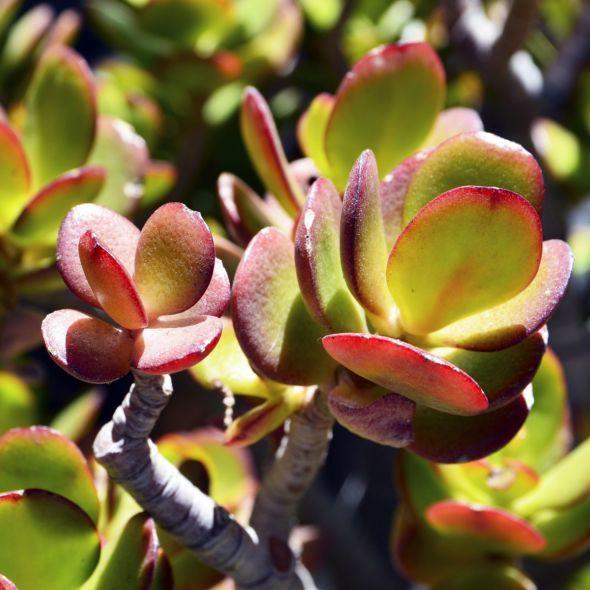 Crassula Minor Plante Grasse Crassula Ovata Plants Succulents